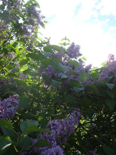 Lilacs ascension
