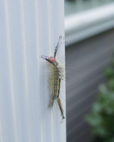 Caterpillar ODD 1