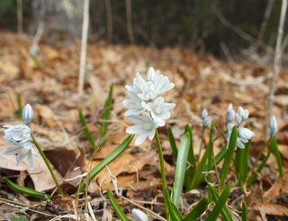 Bluebell like plants 1