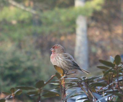 Finch 1