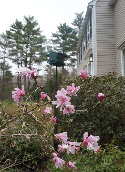 Magnolia on gray april day