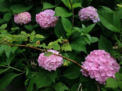 Hydrangeas and raspberries