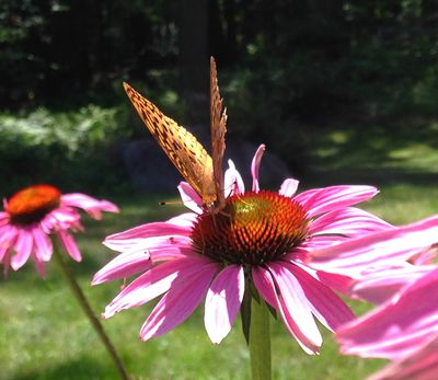Butterfly on coneflowers 1