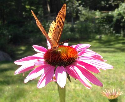 Butterfly on coneflower 2