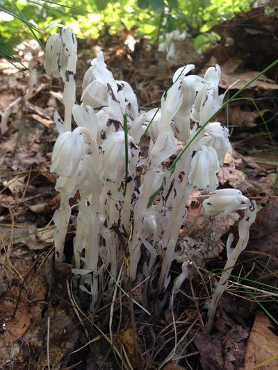 Indian stovepipe ghost plant