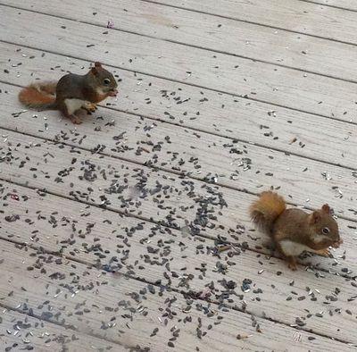 Ww red squirrels