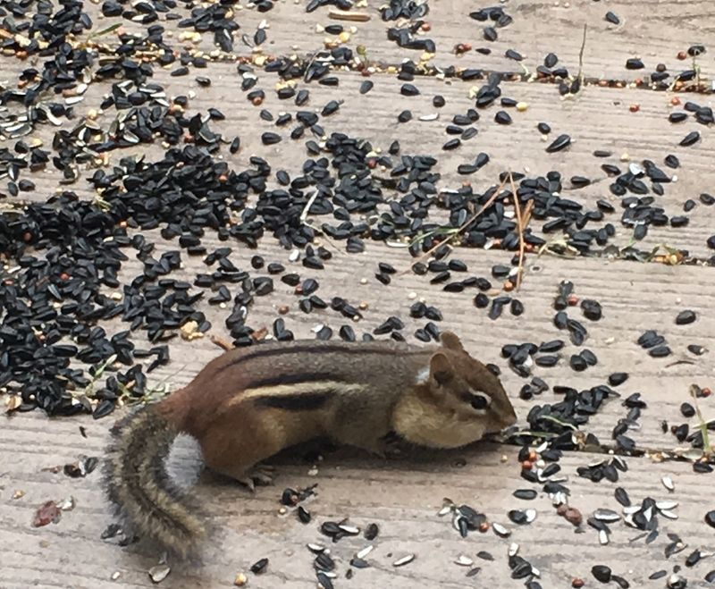 Chipmunk on deck in winter