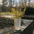 Forsythia from the yard ...