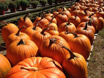 Pumpkin days 1