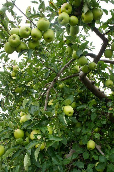 Apples 19