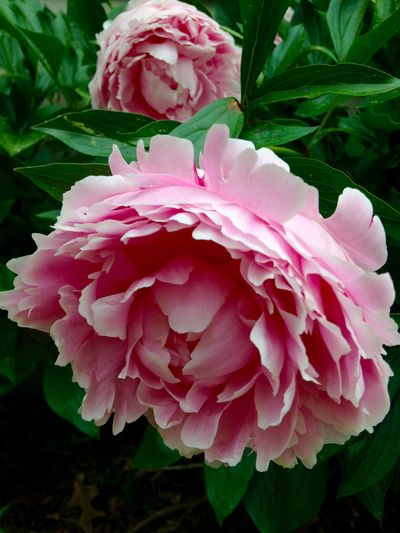 Peonies in bloom 2