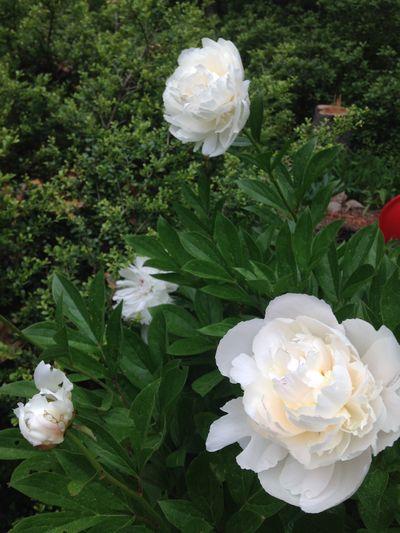 Peonies in bloom 3