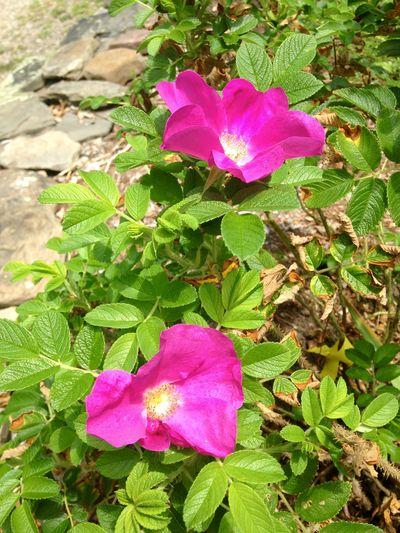 Rosa rugosa 1