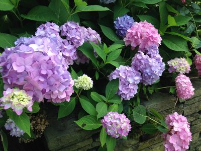 Hydrangeas bloom 1