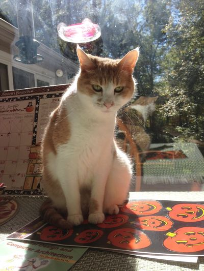 Oliver halloween cat