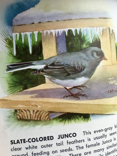 Junco illustration 1