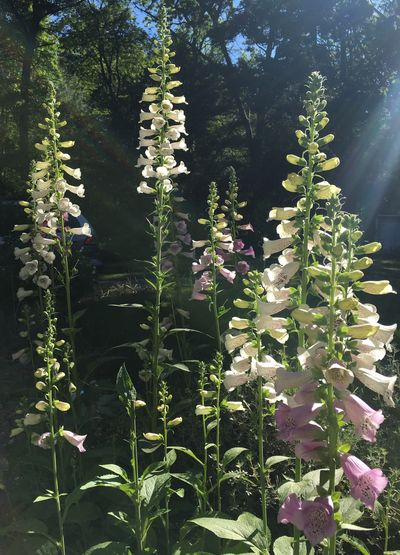 Foxgloves sunshine