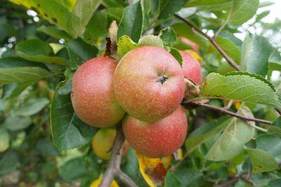 Apples 31