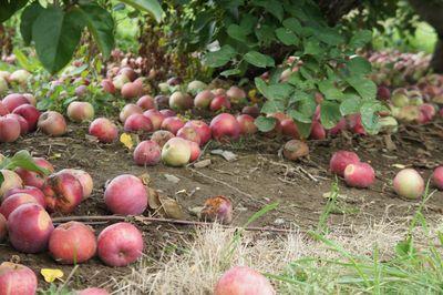 Apples 26