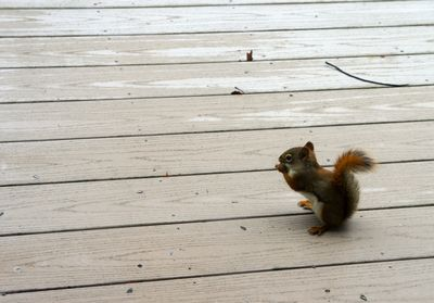 Red squirrel on deck