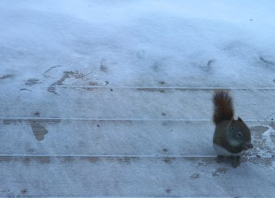 Red squirrel on deck in snow