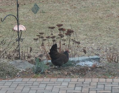 Chicken dark