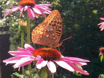 Butterfly on coneflower 3