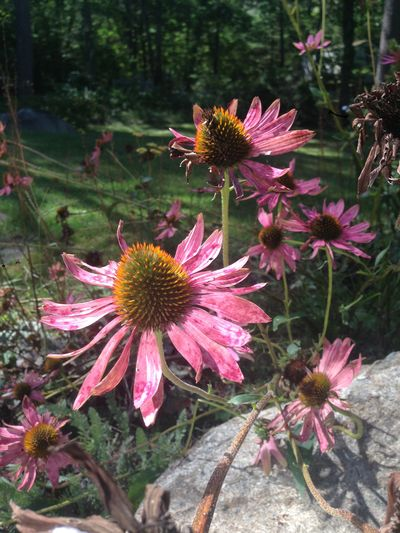 Coneflowers gone to seed