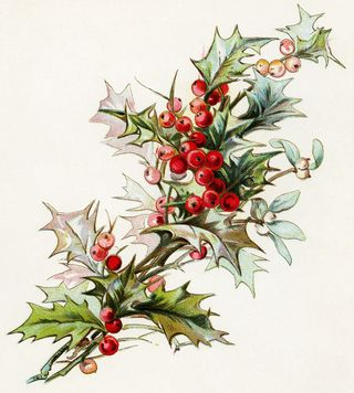 Vintage holly sprig
