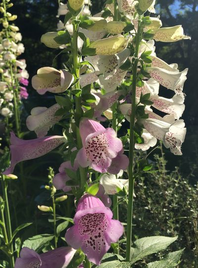 Foxgloves pink