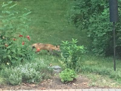 Fox in yard 1