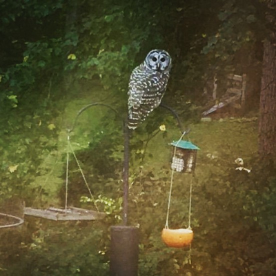 Barred owl on feeders