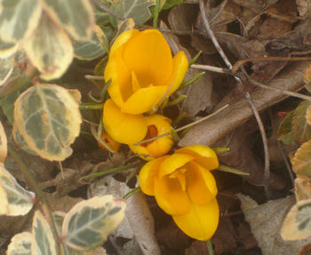 Yellow_crocus_07