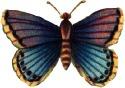 Violetbluebutterfly