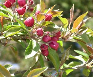 Cherry_buds