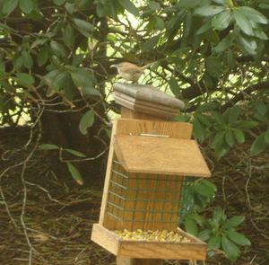 Springbird1