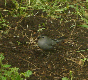 Springbird11
