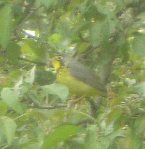 Springbird5