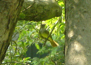 Flycatcher2
