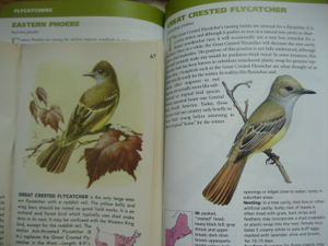 Flycatcher3