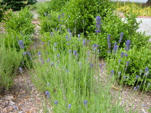 Lavender_blooms