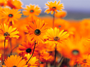 Golden_daisies