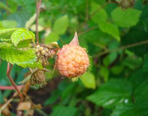 Firstraspberry