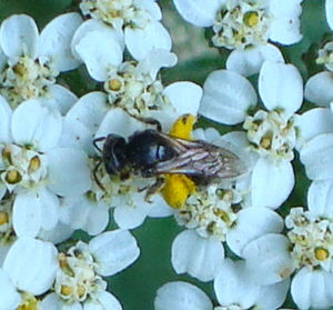 Beewithpollen2