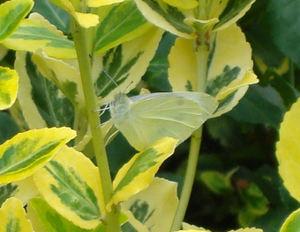 Cabbagebfly