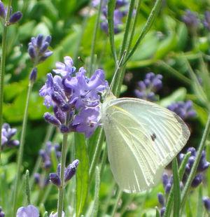 Lavenderbutterfly
