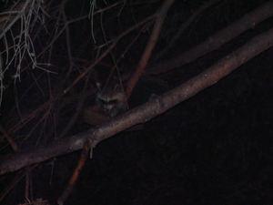Raccoons8