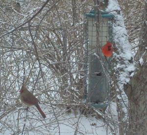 Snowybirds1