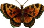 Leopardbutterfly