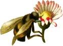 Bumblebeeflower_3